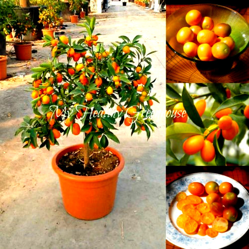 Fruit seeds Beautiful Miniature Kumquat seeds Fruit Bonsai Tree garden decoration Potted plants free shipping 20pcs B33