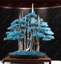 Rare Blue Juniper Seeds 50pcs