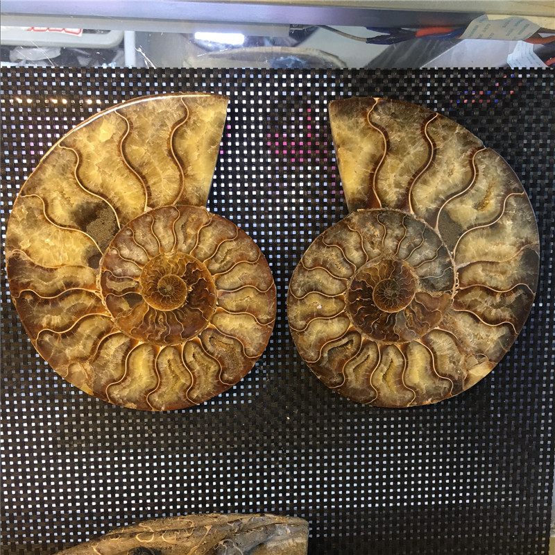 1 pair Fengshui home furnishing money drawing rough natural colorful conch fossil slice specimen for home decoration madagascar