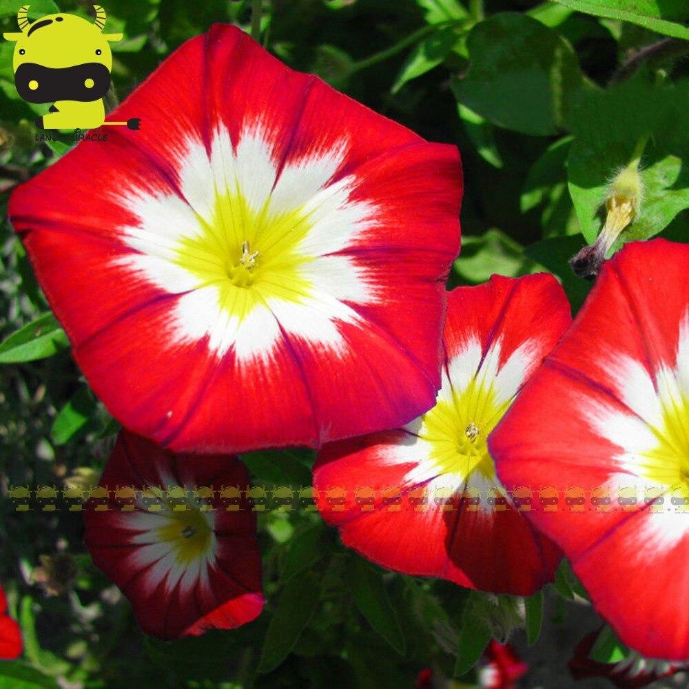 Rare Tricolor Morning Glory Flower Seeds 50 Seedspack