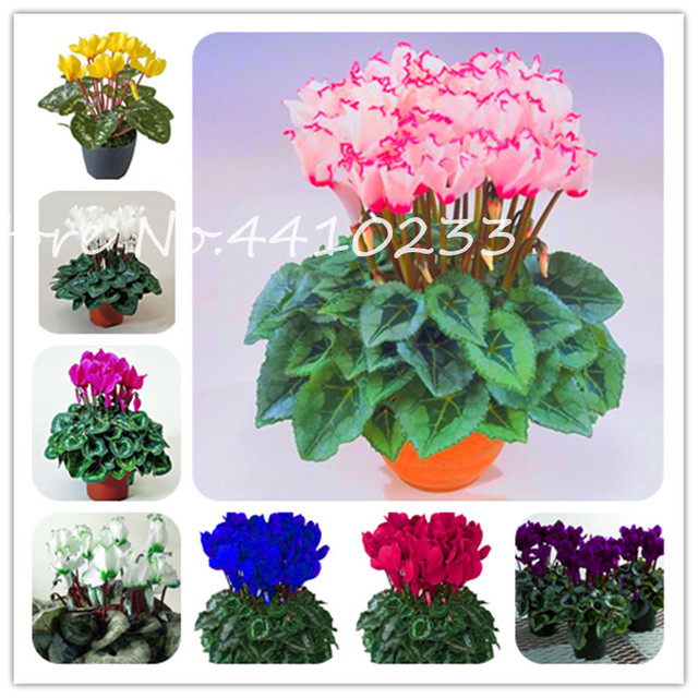100 Pcs Cyclamen Bonsai Mixed Indoor Potted Flower Plants Perennial