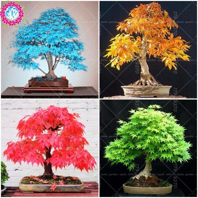 50 pcs/bag japanese bonsai maple tree mini bonsai tree for indoor ...