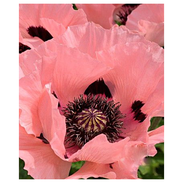 200PCS unique pink poppy petals potted bonsai home garden plants flower seedscourtyard poppy seeds