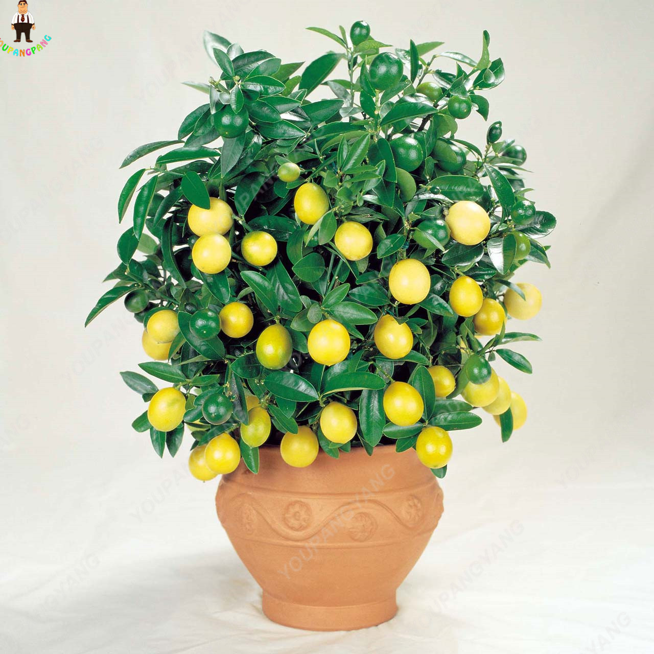 20pcs orange bonsais planting potted edible tangerine citrus fruit dwarf orange tree indoor