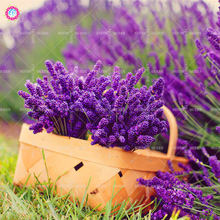 100pcs Mixed Lavender Seeds Summer Courtyard Purple Provence Flower Seeds Outdoor Bonsai Plants for Home Garden Fast shipping