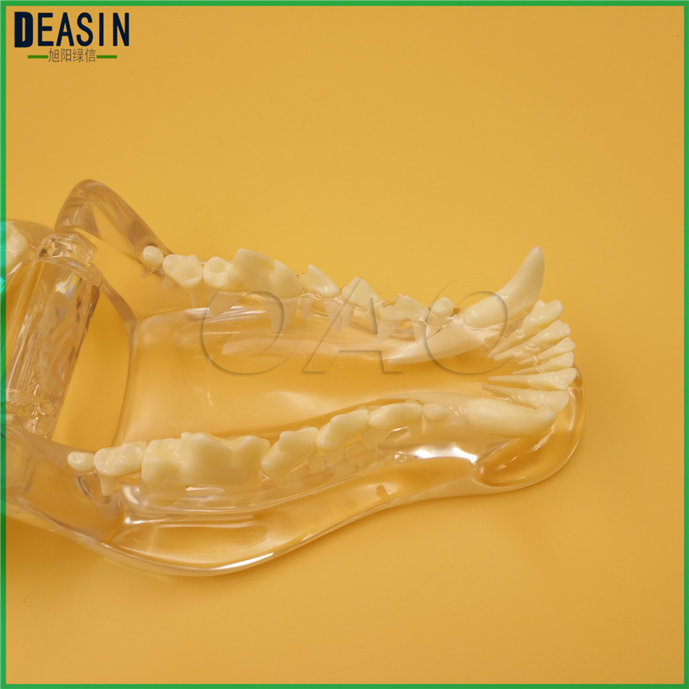 Dog Dentition Model The dog teeth skull jaw bone transparent solution planing teaching Veterinary Animal model specimens shunzaor dog ear lesion anatomical model animal model animal veterinary science medical teaching aids medical research model
