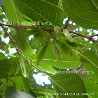 eucommia plant cotton Pisi neem tree bark gum cotton plant real skin shine 200g / Pack tree bonsai