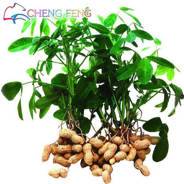 Vendita calda 10 pz piante di Arachidi Arachidi Bonsai Verdure plantas Rare Big