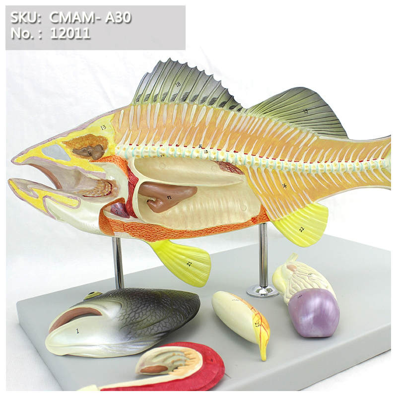 CMAM/12011 Fish Model, 5-parts, Plastic Animal Teaching Anatomical ModelCMAM/12011 Fish Model, 5-parts, Plastic Animal Teaching Anatomical Model