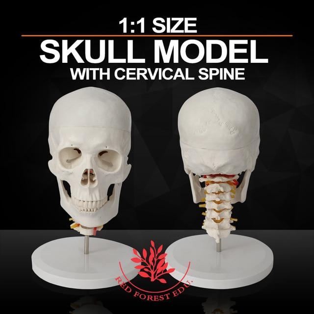 Medical Anatomie funktionsdauer Größe Schädel modell mit ...