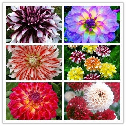 20 قطعة بونساي الداليا الصينية نادر زهرة جميلة المعمرة داخلي أو في الهواء الطلق مصنع الزهور للمنزل نباتات للحديقة سهلة تنمو