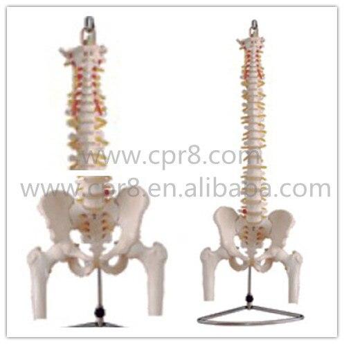 BIX-A1013 Life-Size Vertebral Column With Pelvis And Half Leg Bones Model Australia Freight Free AU, Japan Freight Free WBW274 life size vertebral column spine with pelvis model bix a1009 w051