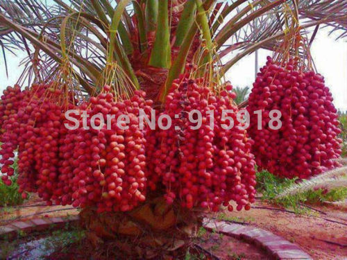 Sweet delicious Red Date palm live seeds 10 Pcs Seeds Free shipping(China (Mainland))