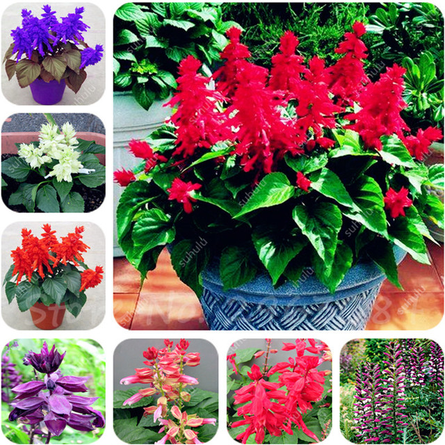 Scarlet Sage Short Red Salvia Flower Seeds Bonsai 30 Pack