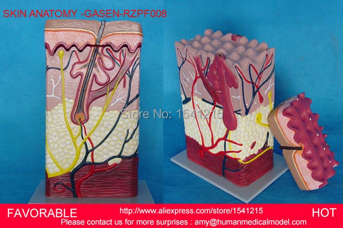 HUMAN SKIN TISSUE STRUCTURE ENLARGED MODEL OF HAIR FOLLICLE ,HUMAN ANATOMY MODEL VERTICAL SKIN ANATOMICAL MODEL-GASEN-RZPF008 skin block model 26 points displayed human skin anatomical model skin model