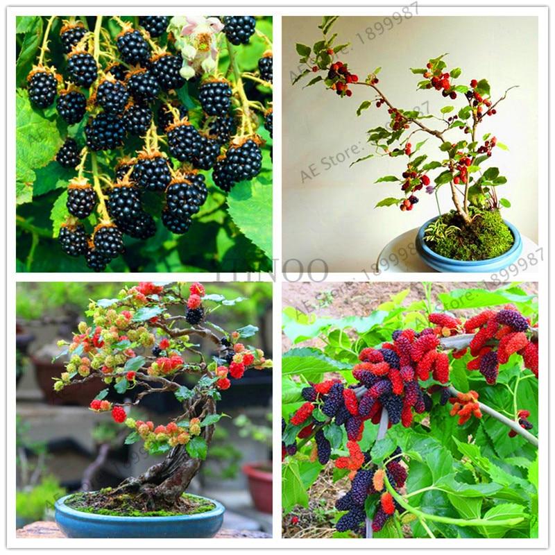 BlackBerry 200PCS Giant Blackberries Triple Crown Blackberry Black Mulberry Bonsai Fruit Garden.