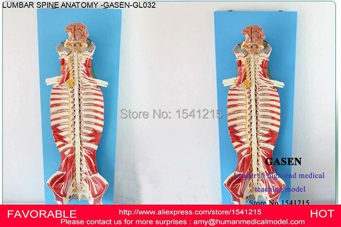 NERVE MODEL SPINAL RIDGE LUMBAR VERTEBRA ANATOMICAL STRUCTURE ANATOMY HUMAN BODY ANATOMY SPINE HUMAN BODY MODEL GASEN-GL032