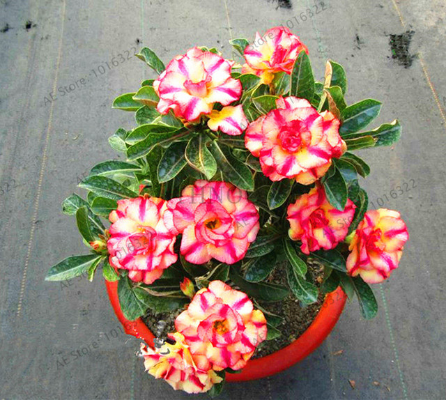 Genuine Desert Rose plant 5pcs Adenium Obesum flores Flower Bonsai plantas Air Purification Home Garden Potted Flower.
