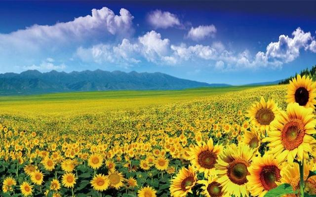 1 Pcs Modern Flower Field Picture Wall Art Painting Still Life Sunflower  Canvas For Gift HD