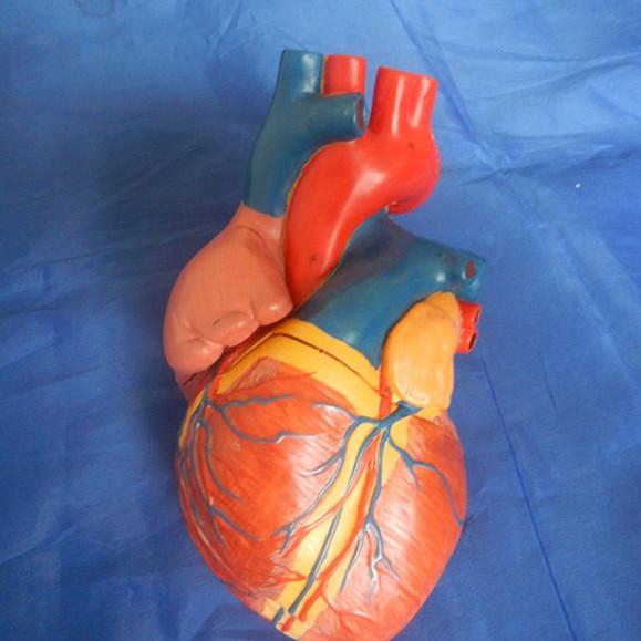 Suurendatud südame anatoomiline mudel, täiskasvanud - Kooli- ja hariduse tarbed - Foto 5