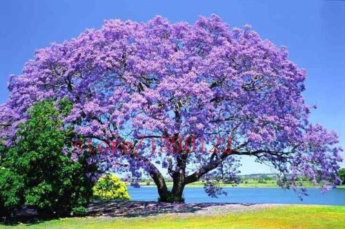 100 PCS rea Paulownia tree seeds princess tree or empress tree rare purple color flower  tree seeds for home garden decoration