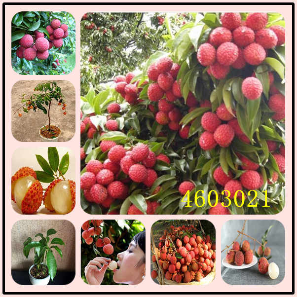 5pcs litchi giant Lychee Home Gardening Outdoor Fruit bonsai tree Sementes House plant pot Survival rate is very high