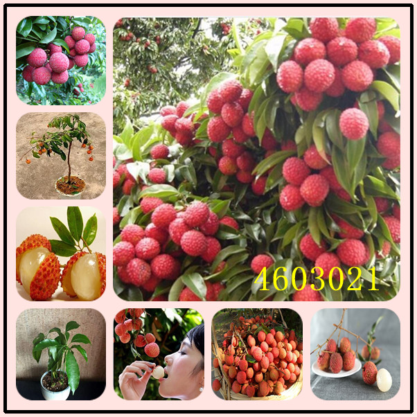 5 Pcs Litchi Giant Lychee Home Gardening Outdoor Fruit Bonsai Tree Sementes House Plant Pot Survival Rate Is Very High
