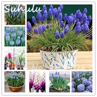 60seeds-bag-Grape-hyacinths-bulb-string-rare-beautiful-flower-seeds-for-the-winter-indoor-plants-flower.jpg_200x200