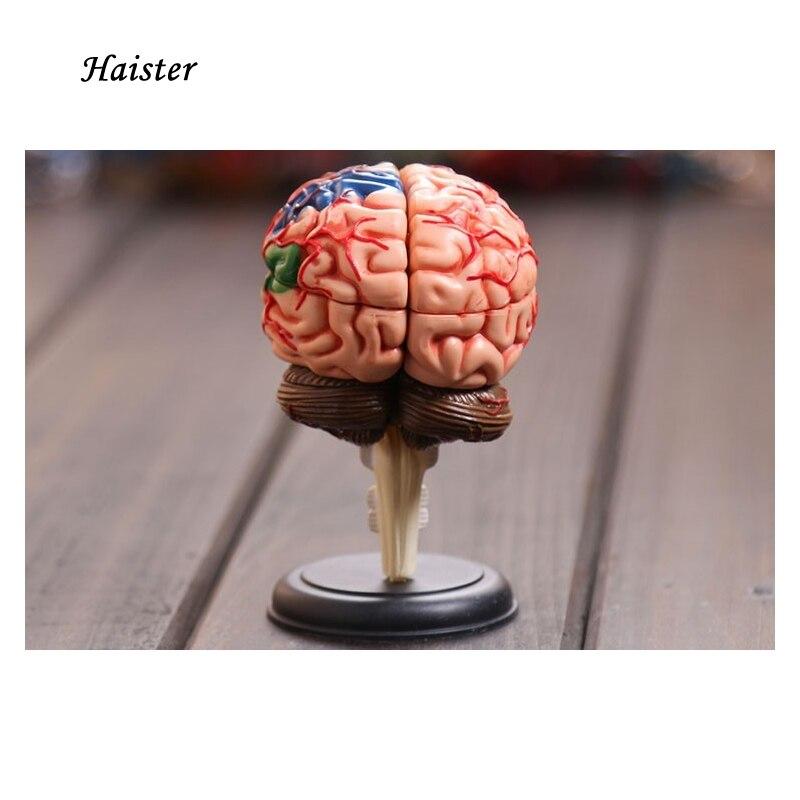 4D Modelo de la anatomía del cerebro humano estructura del modelo ...