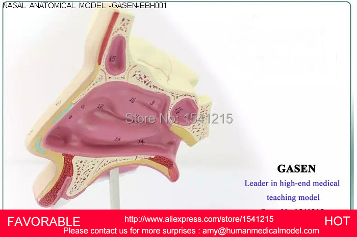 ENT MEDICAL NASAL ANATOMICAL MODEL MUZZLE NOSE NASAL CAVITY MODEL STRUCTURE MODEL,THE NASAL CAVITY MODEL-GASEN-EBH001 anatomical model throat structure features enlarge model larynx laryngeal cartilage pharyngonasal cavity model gasen hx002