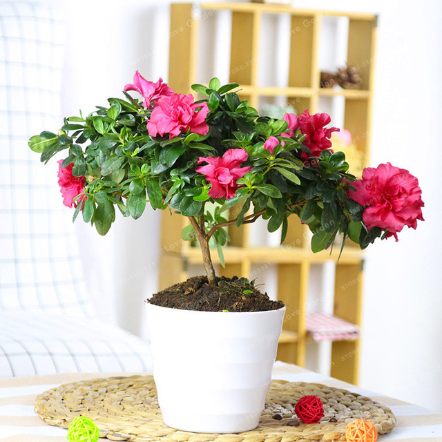 100 Particles Lot Indoor Potted Plant Azalea Flowers Very Beautiful Flower Bonsai For Home Garden