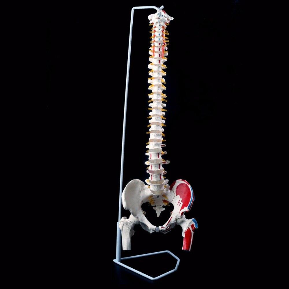 85 cm Vie Taille Anatomique Humain Anatomie Colonne Vertébrale Enseignement Modèle Bassin Fémurs + Stand