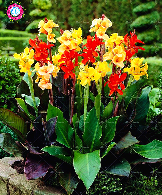 10 pcs mixed colour canna lily plant beautiful bonsai flower plant 10 pcs mixed colour canna lily plant beautiful bonsai flower plant wonderful foliage perennial potted plant mightylinksfo