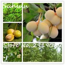 10 шт./пакет редких белых фруктов семена гинкго дерево семян Китай мире живое ископаемое дерево гинкго семена легко выращивать бесплатная доставка