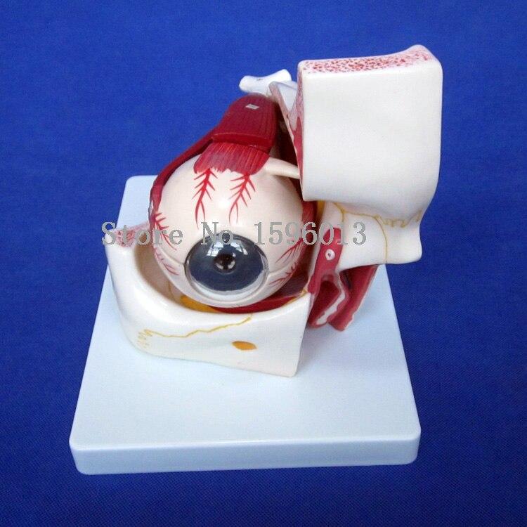 Горячая анатомическая Съемная глазная модель с орбитой 10 частей, глаз/окуляр с орбитой модели
