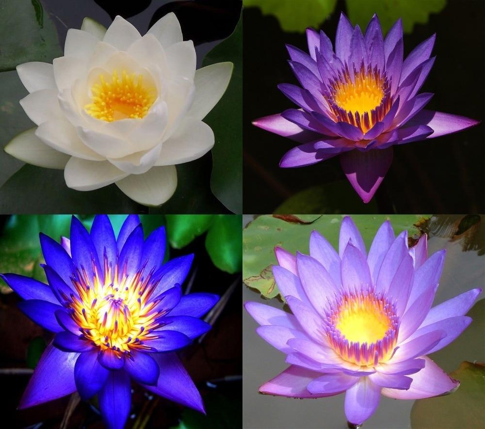10 Lotus Flower Seeds Pink Blue White Purple Fresh 4 Colors