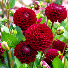 50pcs real dahlia seeds NOT bulbs Mixed colors bonsai flower seeds for DIY home garden plant Free shipping High germination rate