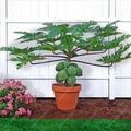 30ps/bag Dwarf hovey Papaya bonsai Organic fruit tree fruit plant papaya potted for home garden