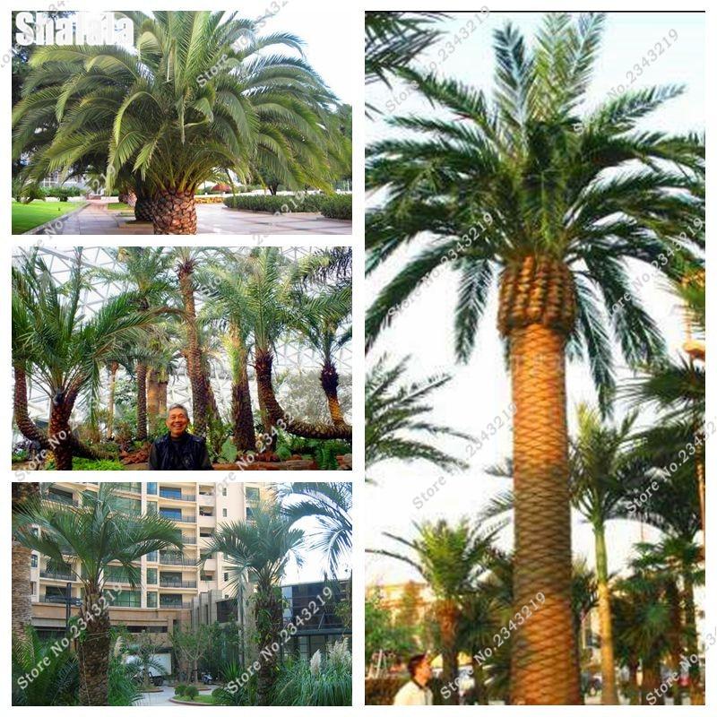 Big Butia Capitata Seeds Home Garden Decor Plants Courtyard U0026 Patio Terrace  Planting Rare Palm Seeds