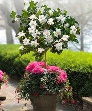 Real Gardenia bulb (Cape Jasmine) bonsai flower bulbs, Exotic Shrub – open pollinate balcony plant pot for home garden 2pcs/bag