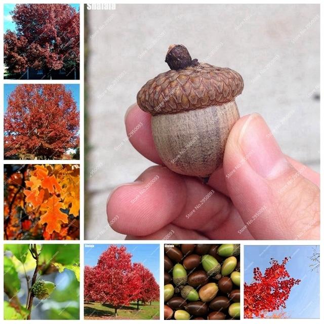 10 pz Americano Quercia Rossa Albero Bonsai Quercus Alba Ghiande Per Fai Da Te G