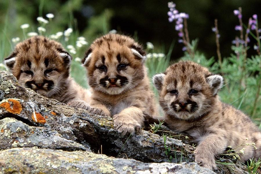 Cougar Babies Promotion-Shop for Promotional Cougar Babies on ...