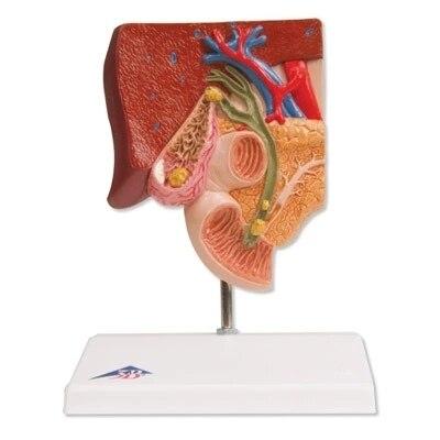 Die peripherie anatomische modell der stein wand system in der ...