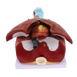Human Respiratory System Medical Anatomical Model Larynx, Heart and Lung Anatomy Model (7 Parts), Life Size Education Toys(China)