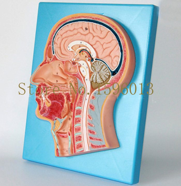 HOT Median Sagittal Section of the Head Model, Clear Brain Sagittal Anatomical Model median section of head model anatomical head model