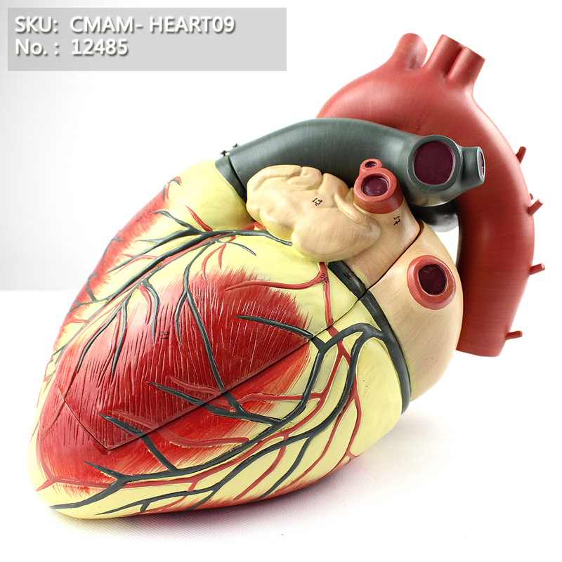 CMAM/12485 Heart-3parts, Human Heart Medical Teaching Anatomical ModelCMAM/12485 Heart-3parts, Human Heart Medical Teaching Anatomical Model