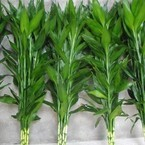 A hydroponic plant flowers Straight rod bending bamboo lucky bamboo seeds home bonsai aquarium plants