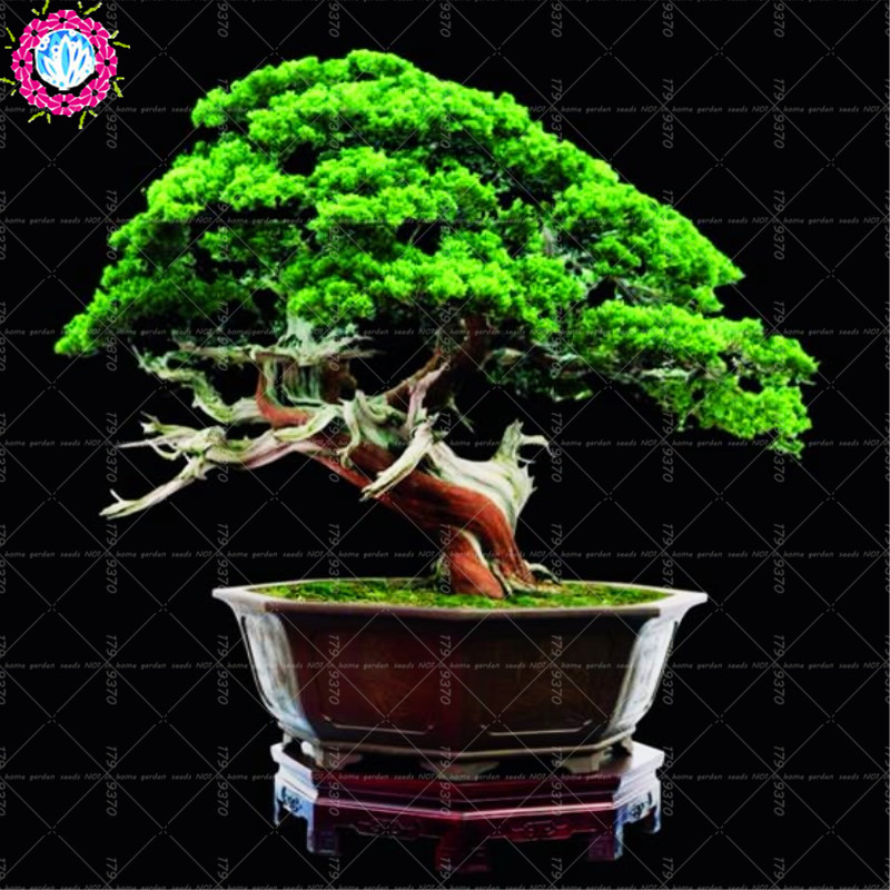 20pcs Bag Thuja Thuja Sutchuenensis Bonsai Tree Cupressaceae Rare Perennial Evergreen Woody Plant For Home Garden Buy At The Price Of 0 34 In Aliexpress Com Imall Com