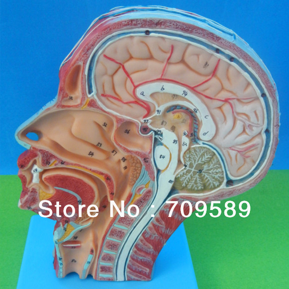 ISO Detailed Anatomical Model of Human Head with Vessels and Nerves economic half head with vessels model anatomical head model with brain nerves vascular muscles and vessels