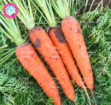 Фотография 500pcs Fresh Carrot Seeds Organic Heirloom Seeds Sweet And Healthy Vegetables Fruit Carrot Seeds Potted Plant For Home Garden
